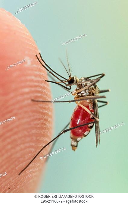 Aedes triseriatus mosquito female biting on human skin