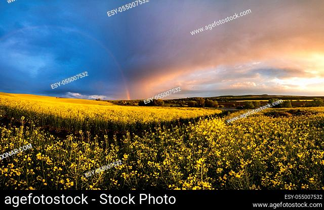 Spring rapeseed yellow fields after rain evening sunset view, cloudy pre sunset sky with colorful rainbow, ground road, and rural hills