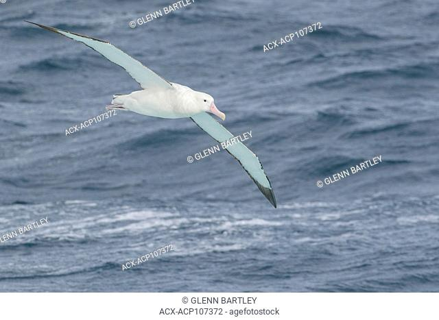 Wandering Albatross (Diomedea exulans) flying over the ocean searching for food near South Georgia Island