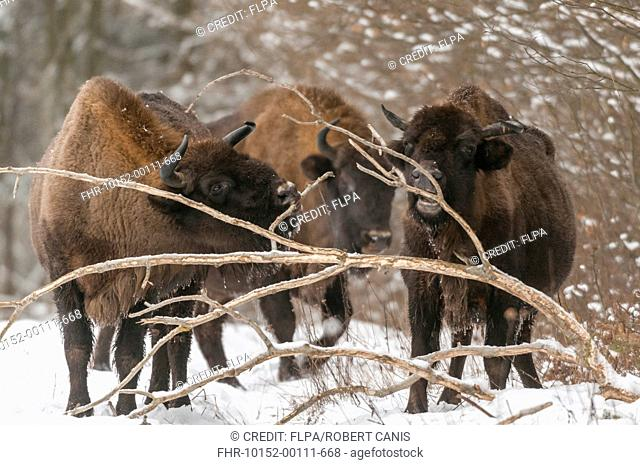 European Bison (Bison bonasus) three adult females, feeding on bark from fallen branch at edge of snow covered forest, Bialowieza N.P