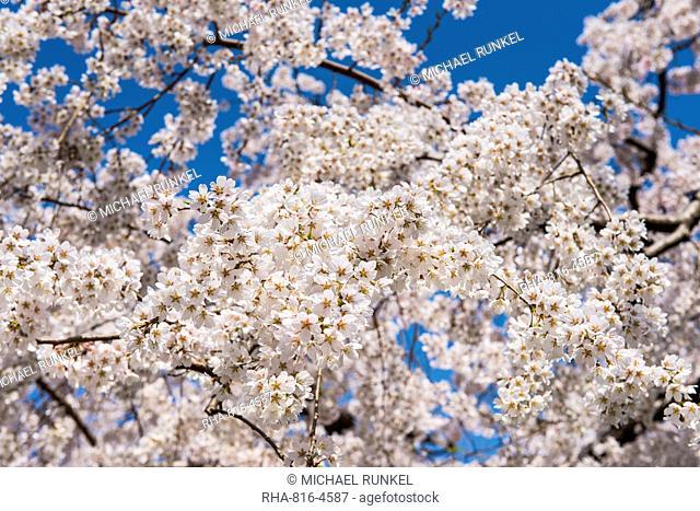 Cherry blossom in the Maruyama-Koen Park, Kyoto, Japan, Asia
