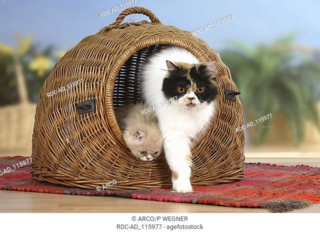 Persian Cat and kitten coming out of cat's basket kennel