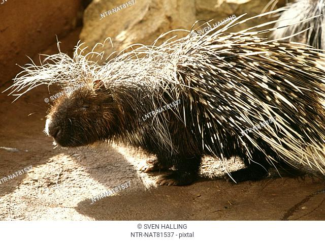 South African Porcupine, USA
