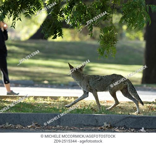 A coyote trots confidently through a park near the American River