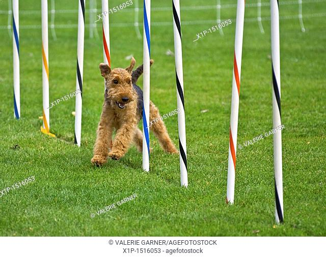 This airedale terrier dog is running in a dog show, through an obsticle course, weaving through poles  Taken on Sept  16, 2010 in Oak Harbor, Washington