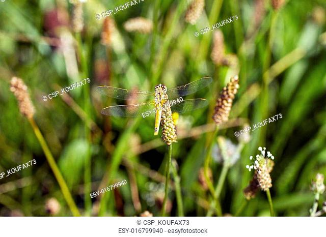 Golden-winged dragonfly