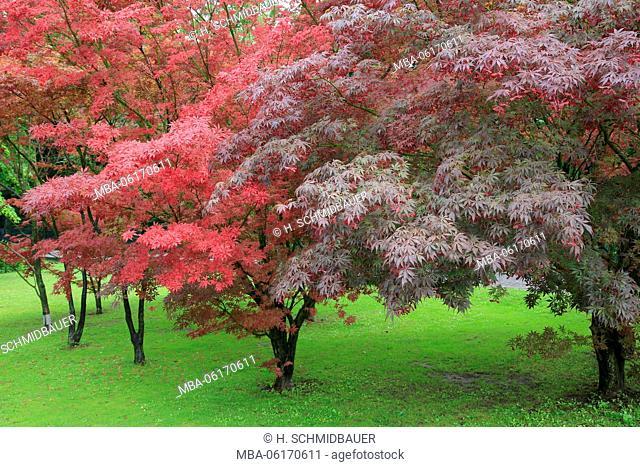 Red Maple, Japanese Maple, Acer palmatum
