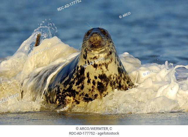 Grey Seal, female, Helgoland, Schleswig-Holstein, Germany, Halichoerus grypus