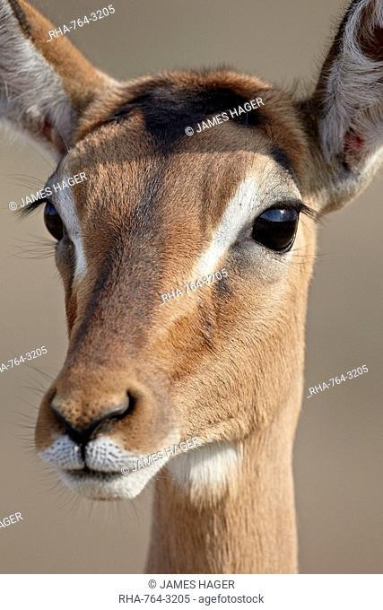 Female impala Aepyceros melampus, Hluhluwe Game Reserve, South Africa, Africa