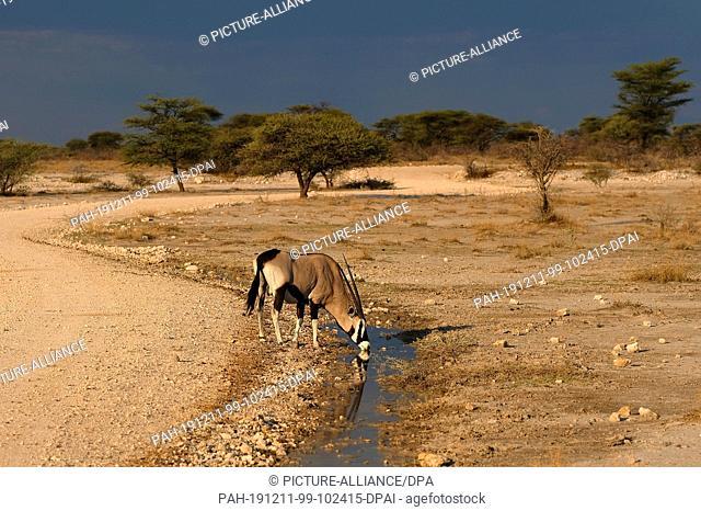 28 November 2019, Namibia, Etosha-Nationalpark: An oryx drinks from a puddle in Etosha National Park. Photo: Oliver Berg/dpa