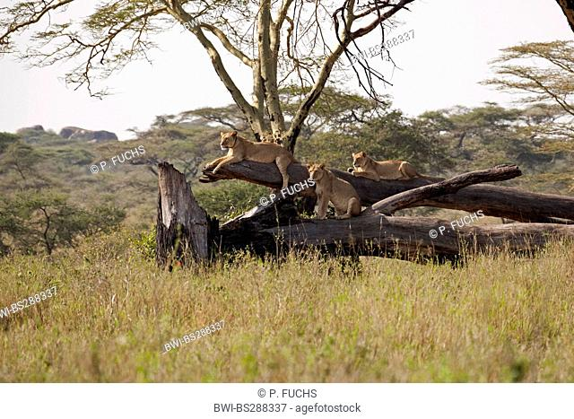 lion (Panthera leo), three lionesses resting on toppled tree trunk, Tanzania