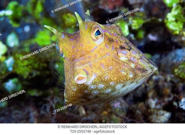 Thornback Cowfish, Lactoria fornasini, Bali, Indonesia