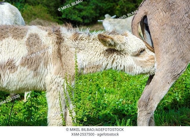 baby donkeys sucking