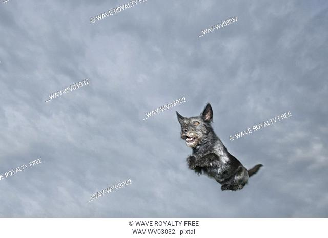 Mixed breed dog leaping through air, Canada, Alberta