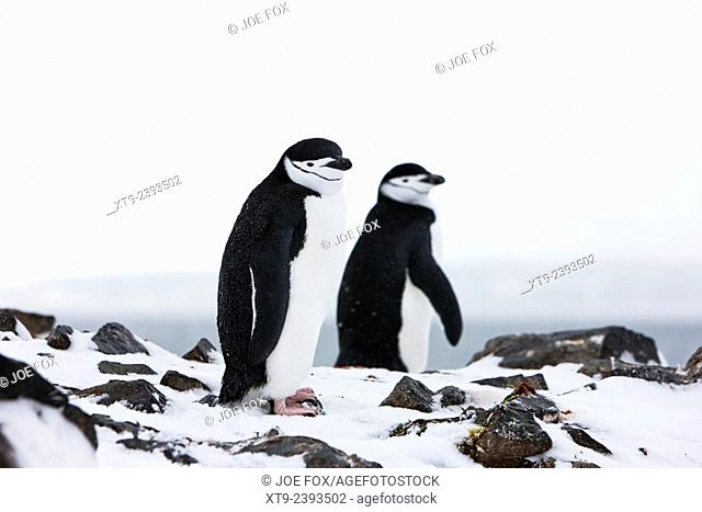 chinstrap penguins on skyline at hannah point Antarctica