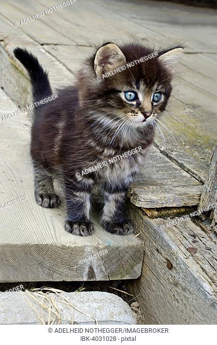 Domestic cat (Felis silvestris f. catus), young, Burgenland, Austria