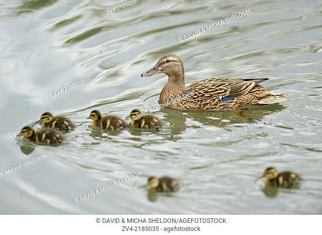 Close-up of a mallard or wild duck (Anas platyrhynchos) mother with her chicks swimming on a little lake in spring