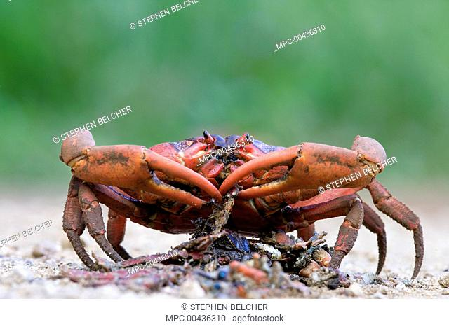 Christmas Island Red Crab (Gecarcoidea natalis) feeding on another crab crushed on the road, Christmas Island, Australia