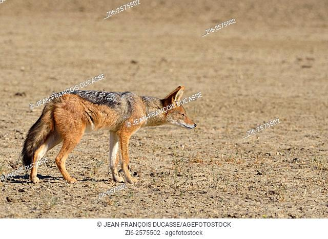 Black-backed jackal (Canis mesomelas), standing on arid ground, watchful, Kgalagadi Transfrontier Park, Northern Cape, South Africa, Africa