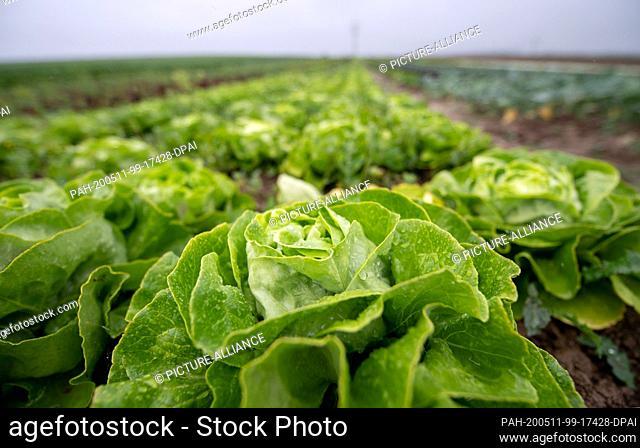 11 May 2020, Baden-Wuerttemberg, Leinfelden-Echterdingen: Raindrops are lying on a lettuce. Photo: Sebastian Gollnow/dpa