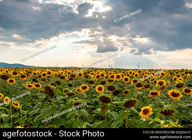 Sunflower field at sunset in summer