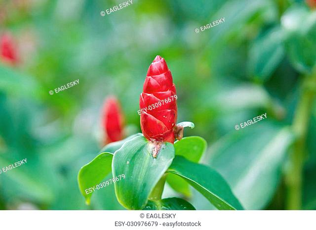 Close up Zingiber zerumbet Smith red flower as cone on outdoor garden