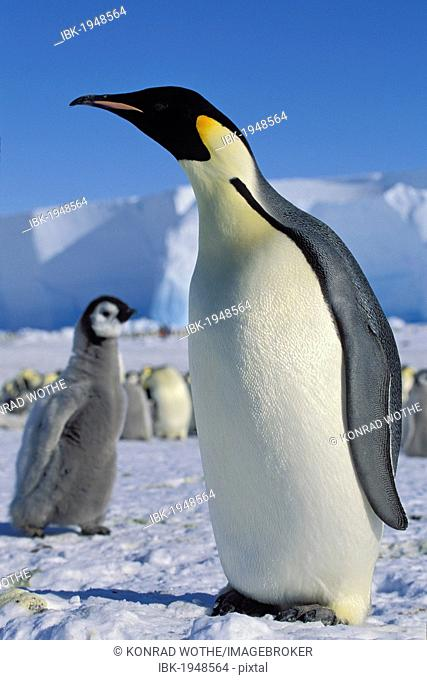 Emperor penguin (Aptenodytes forsteri) with chick on ice shelf, Weddell Sea, Antarctica
