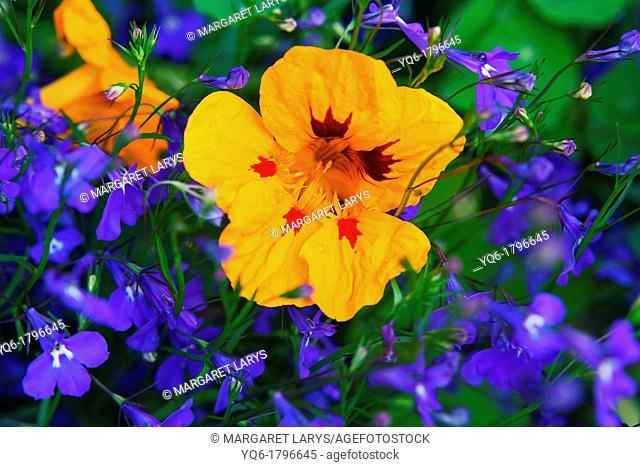 Yellow Nasturtium,Tropaeolum and blue lobelias, Lobeliaceae