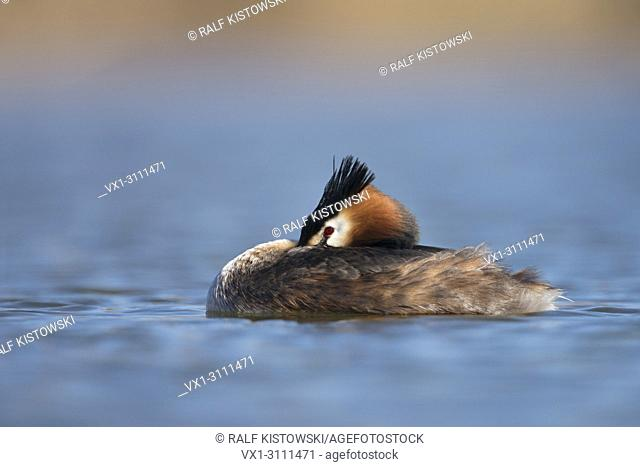 Relaxed but attentive Podiceps cristatus / Great Crested Grebe / Grebes Haubentaucher floating on blue water