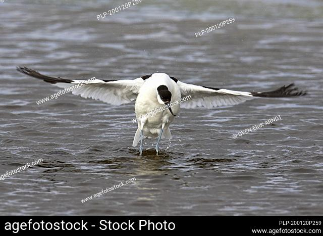 Pied avocet (Recurvirostra avosetta) in shallow water flapping wings dry after bathing