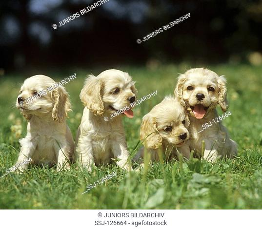 American Cocker Spaniel puppies - on meadow