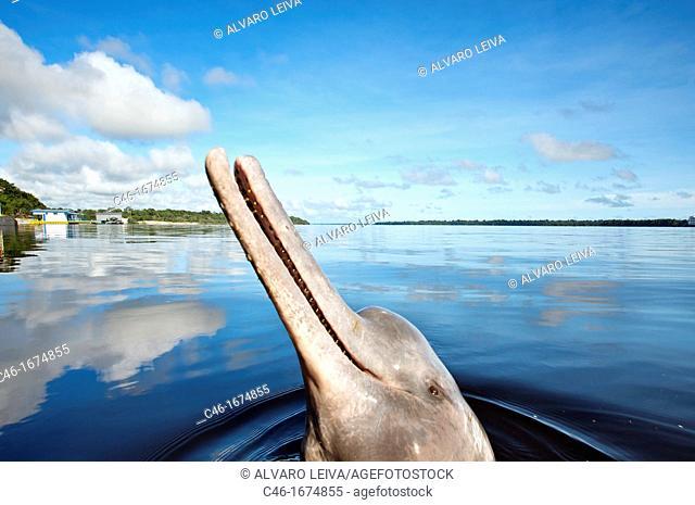 Pink dolphin Inia Geoffrensis , Novo Ariau area Rio Negro Black River, Amazonas state, the Amazon, Brazil
