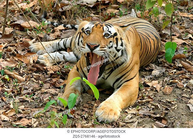 Male tiger, Panthera tigris, Kanha National Park, Madhya Pradesh, India