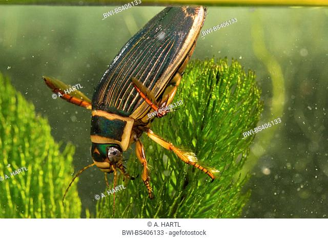 Great diving beetle (Dytiscus marginalis), female at water surface, Germany, Bavaria