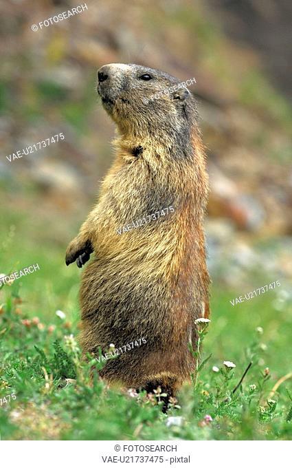 mountain, animal, marmota, marmot, huwiler, mountains, Alps