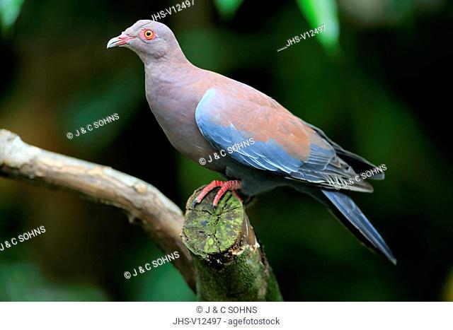 Maranon Pigeon, (Patagioenas oenops), adult on tree, South America