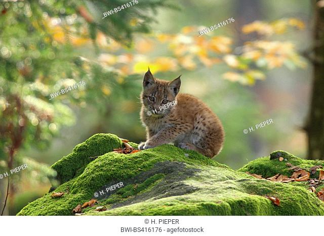 Eurasian lynx (Lynx lynx), cubs in forest, Germany, Bavaria, Bavarian Forest National Park