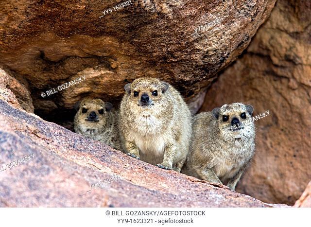 Rock Hyrax Family - Mowani Mountain Camp - Twyfelfontein, Damaraland, Namibia, Africa