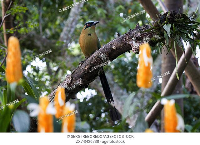 THE BARRANQUERO is a very colorful and beautiful bird that has a wide distribution in America, and Colombia mainly inhabits the sub-Andean forests and dry...