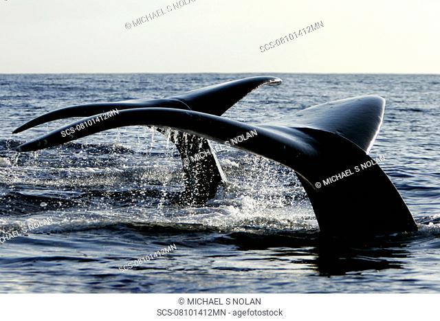 Adult humpback whale Megaptera novaeangliae fluke-up dive side-by-side in the AuAu Channel, Maui, Hawaii, USA Pacific Ocean