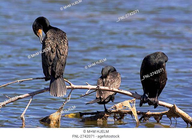 Three Double-crested Cormorant Phalacrocorax auritus birds perching on branch, Everglades National Park, Florida, USA