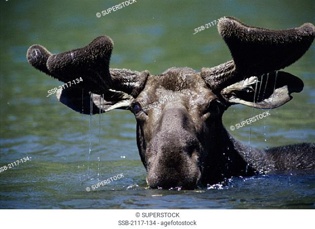 Moose Isle Royale National Park Michigan USA