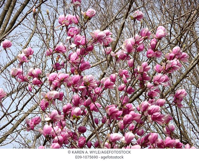magnolia blossoms against bare branches, Monroe County, Indiana