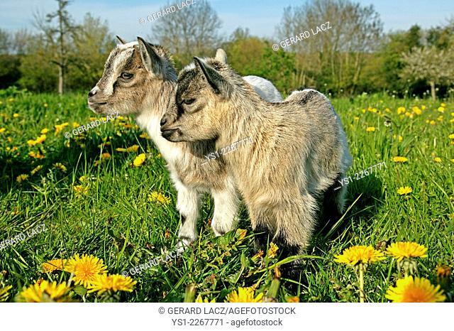3 Months Old Pygmy Goat or Dwarf Goat, capra hircus