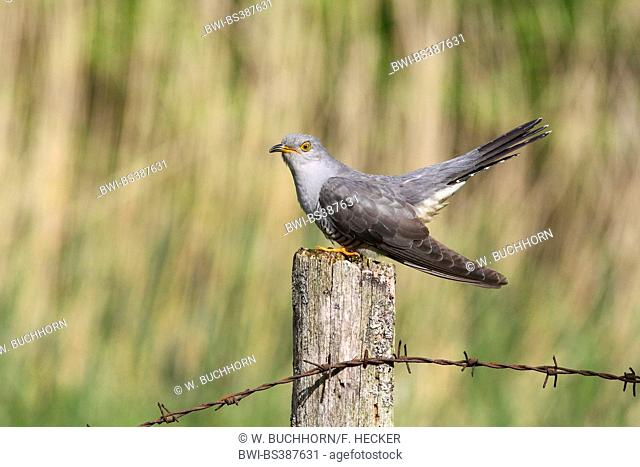 Eurasian cuckoo (Cuculus canorus), sitting on a wooden post, Germany
