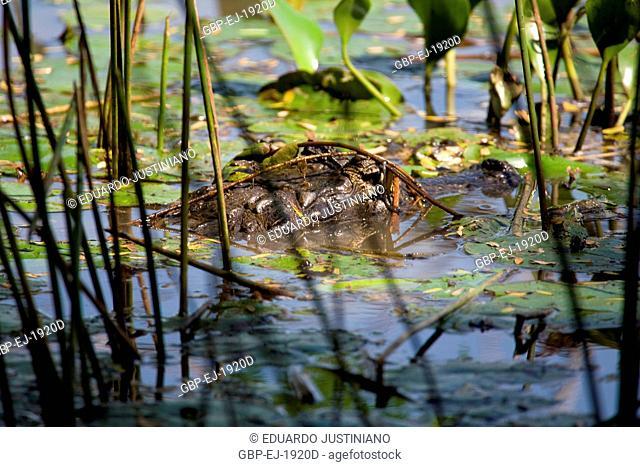 Alligator-pity-swampland (Caiman crocodilus yacare), Aquidauana, Mato Grosso do Sul, Brazil