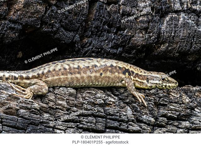 Common wall lizard (Podarcis muralis / Lacerta muralis) basking in the sun on scorched tree trunk