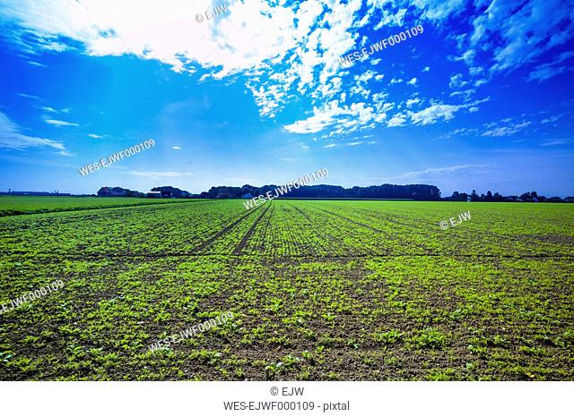 Austria, View of crop field with fresh seedlings