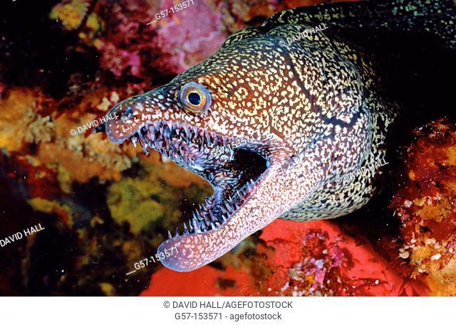 Mosaic Moray Eel (Enchelycore ramosa). New Zealand