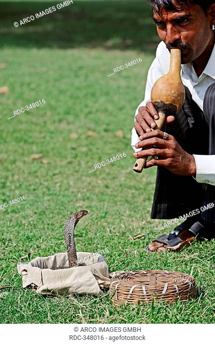 Snake charmer with Spectacled Cobra, New Delhi, India / Naja naja / Indian Cobra, Common Cobra, Asian Cobra, New Dehli
